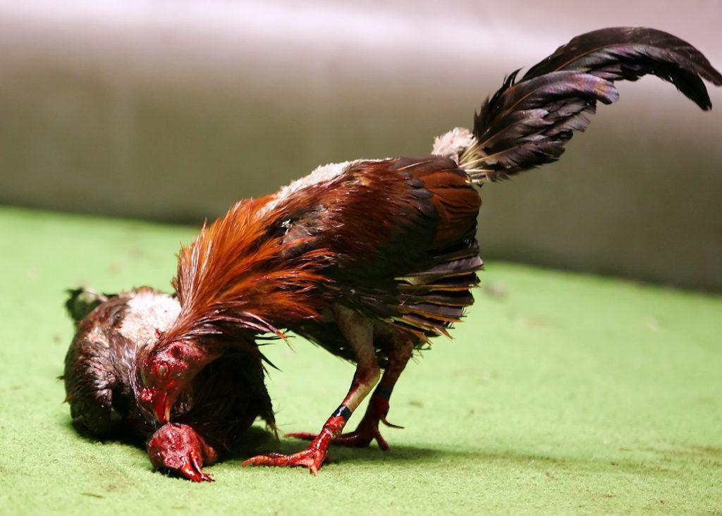 Ayam Unggulan