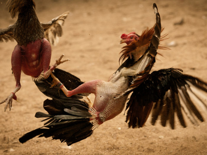 Taktik dan Strategi Permainan Sabung Ayam Online